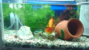 金魚の水草2